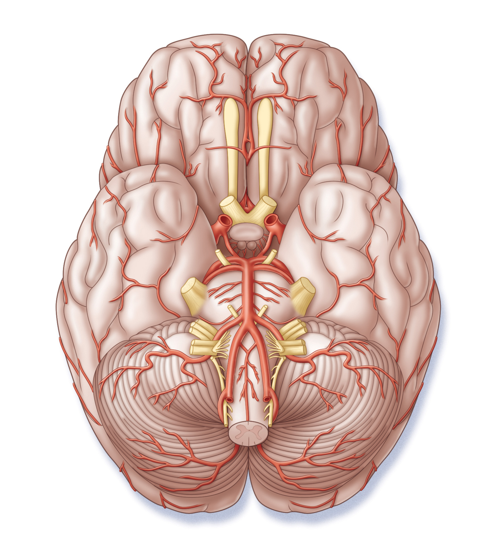 Base of brain with vasculature and nerves
