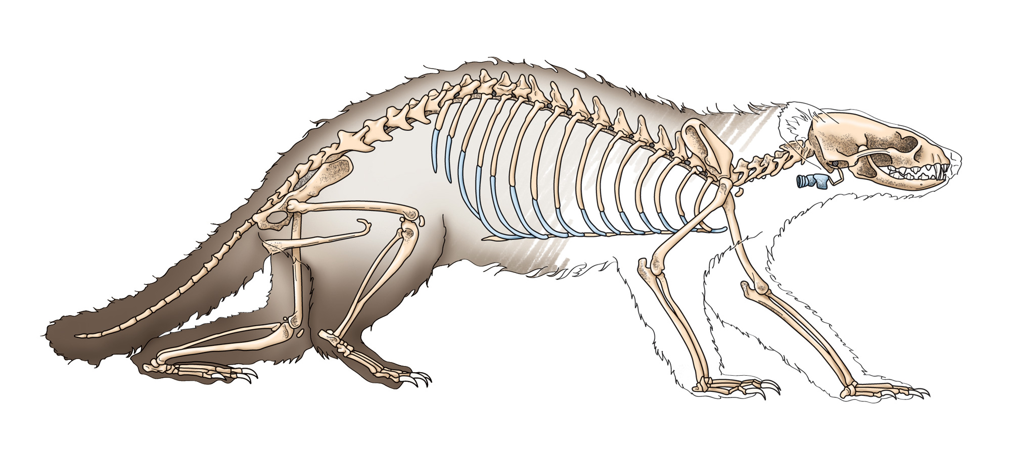 Ferret skeleton