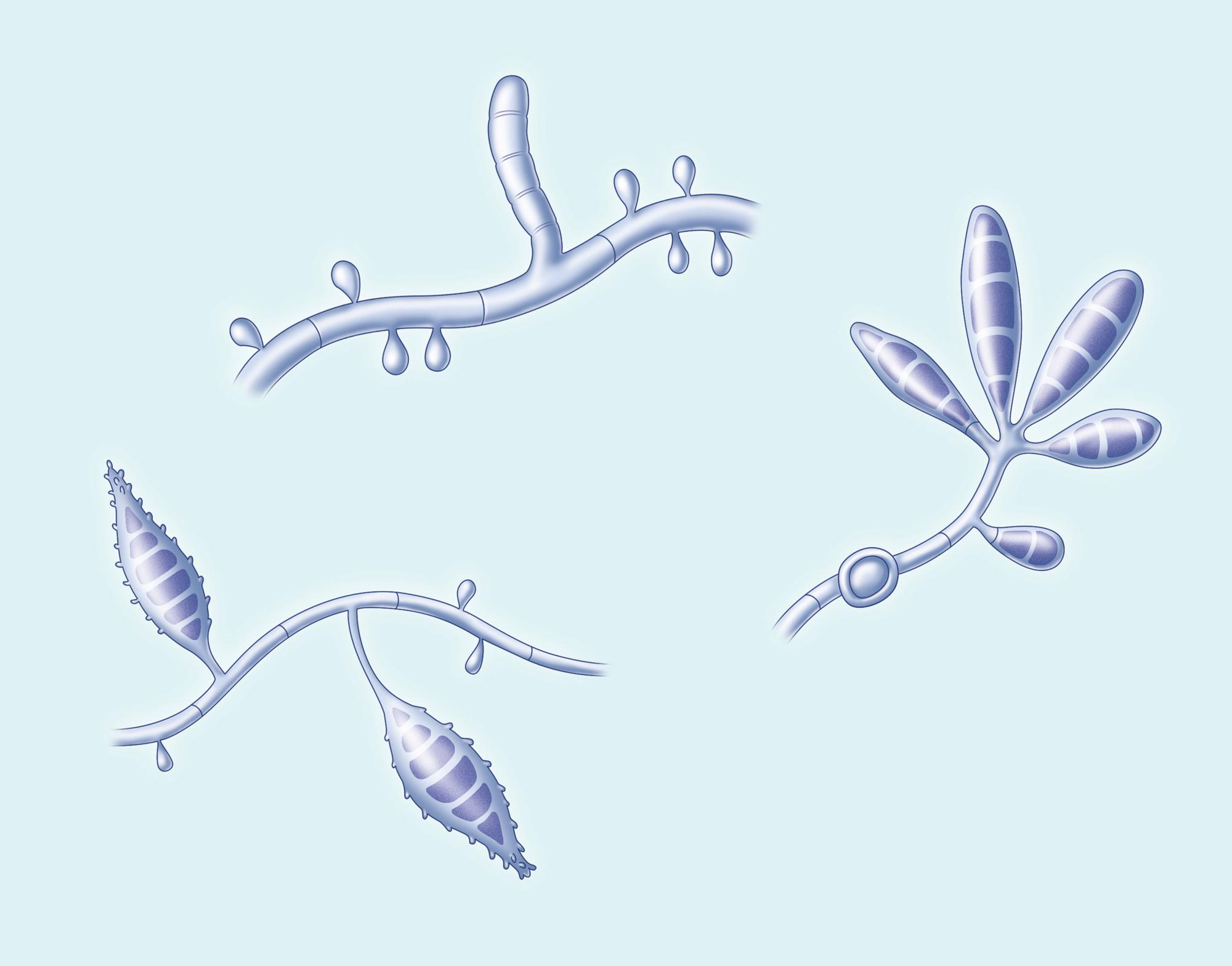 Fungi Trichophyton Microsporum Epidermophyton