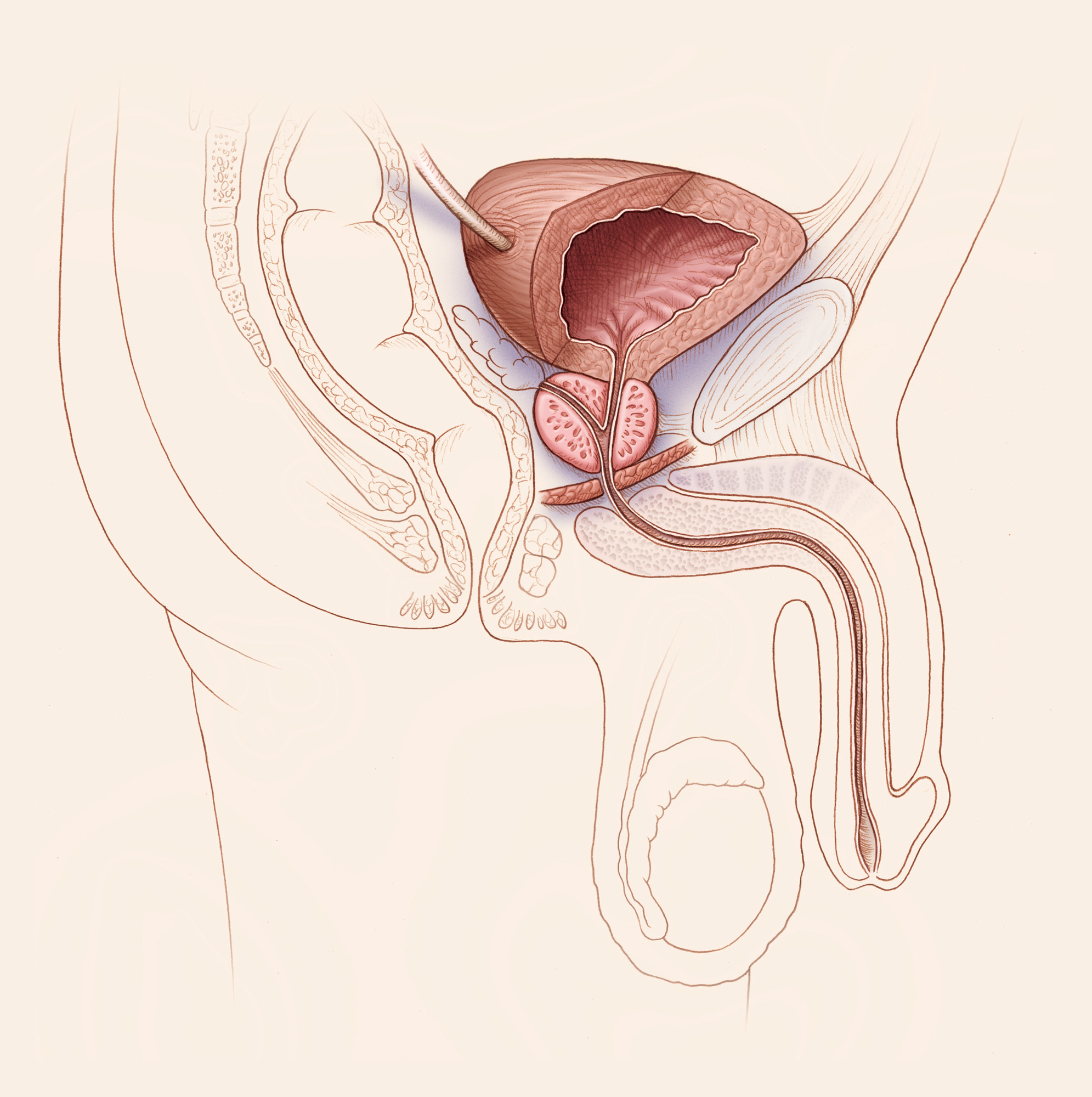 Male urogenital anatomy side section