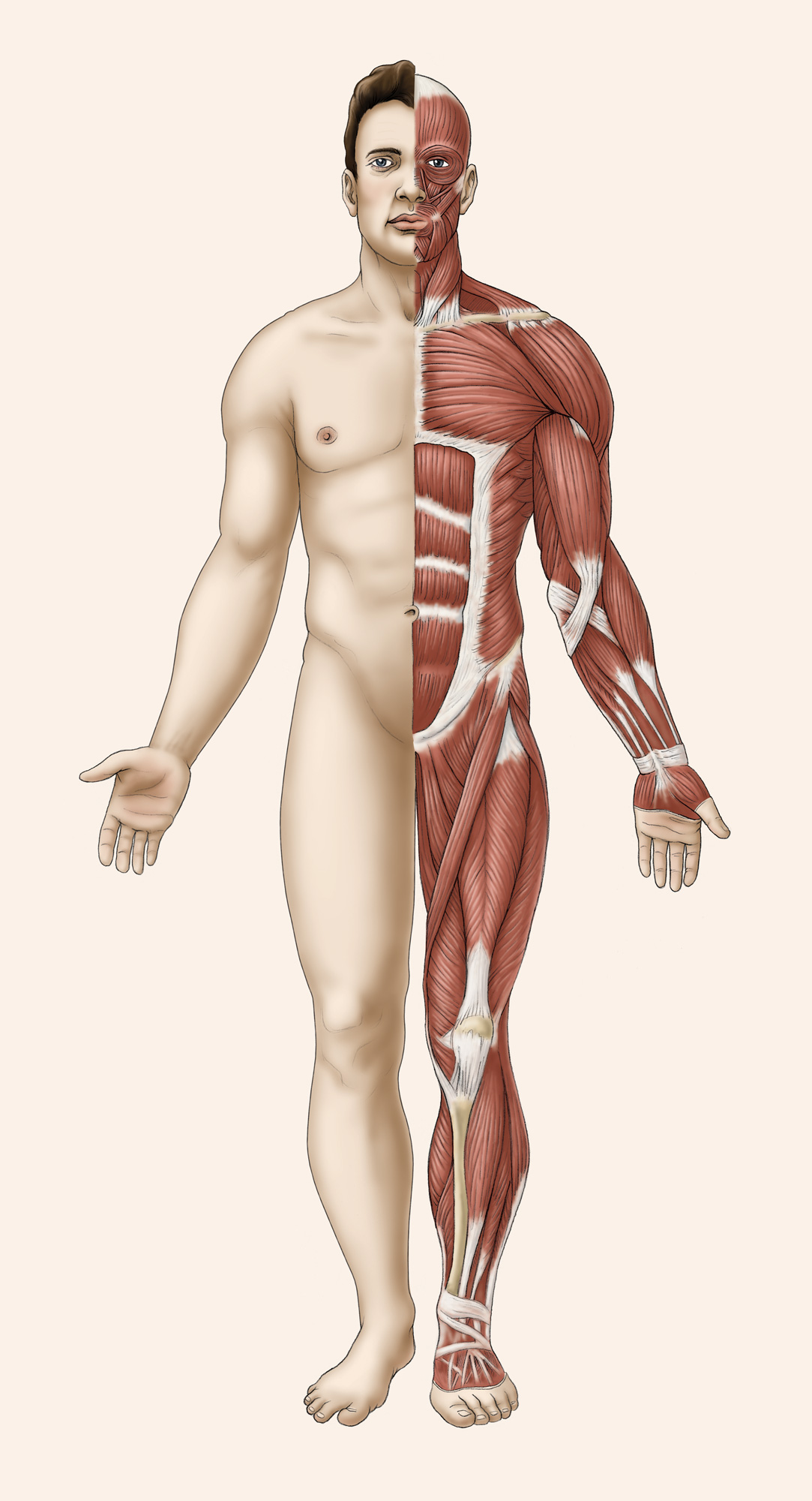 Male muscle  and surface anatomy frontal