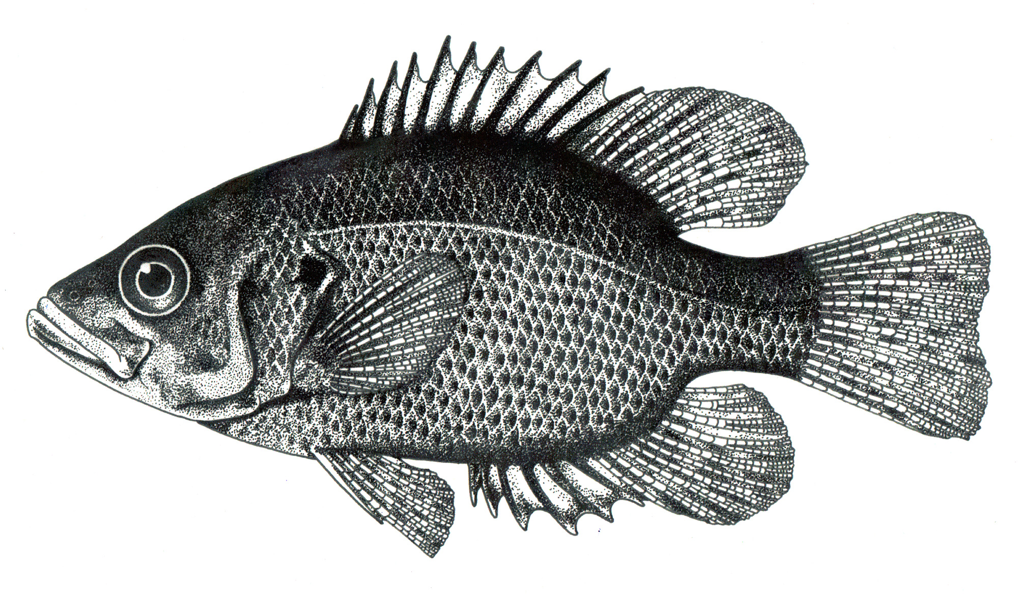 Rock bass pen and ink stipple illustration
