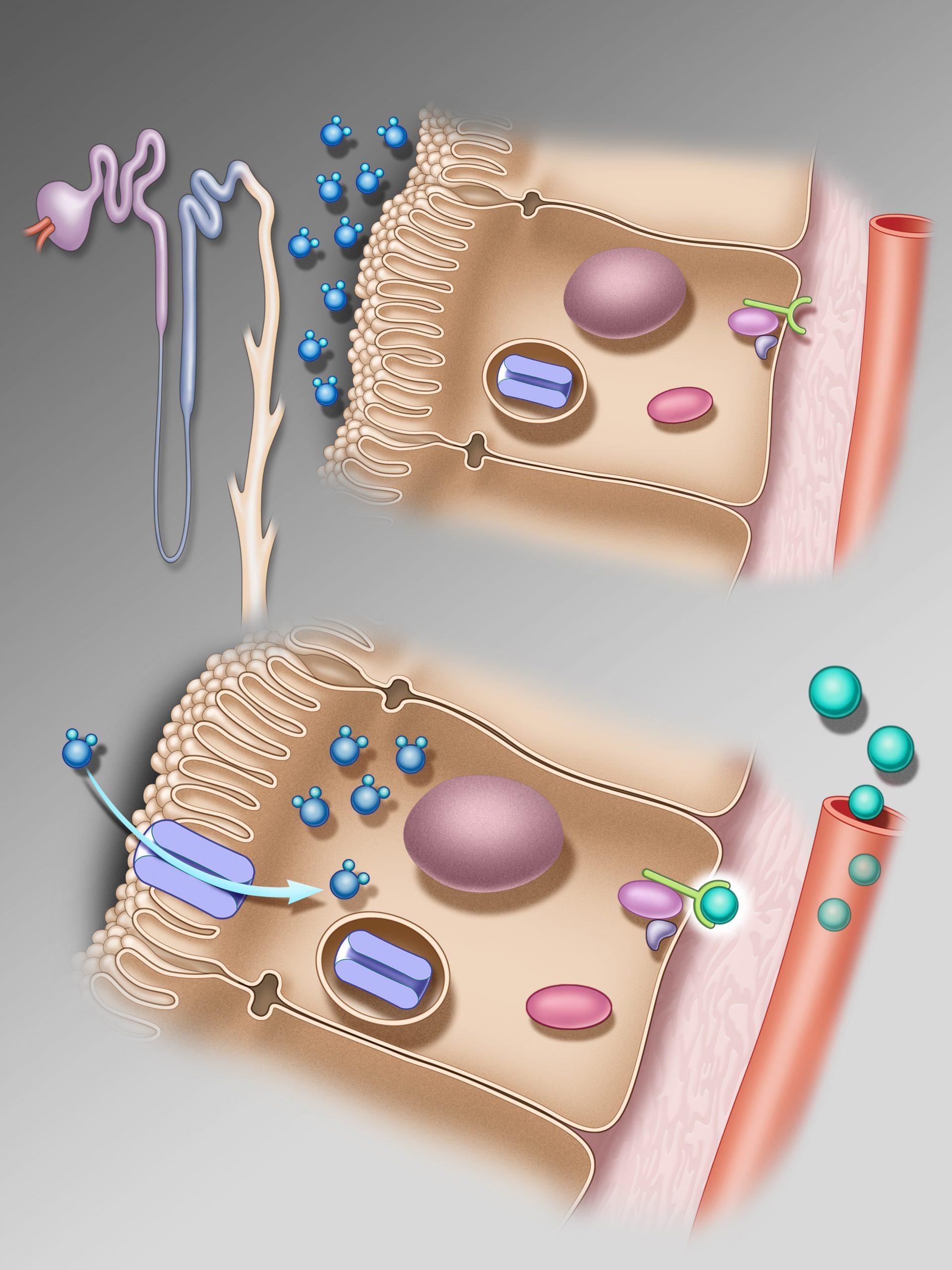 Cellular Processes behind Nocturia